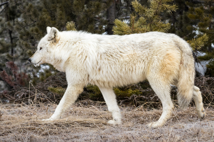 White Wolf, Alpha Female of the Canyon Pack, Yellowstone